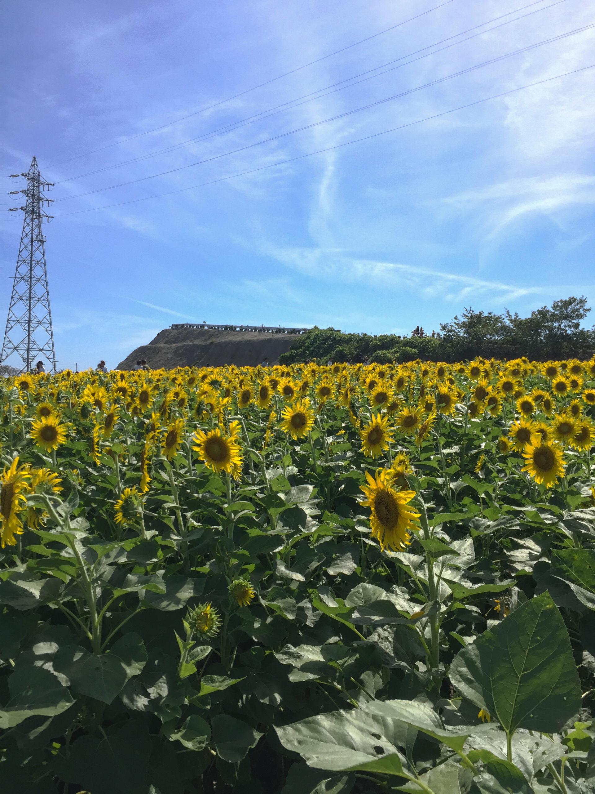 愛知県が誇るひまわり畑!観光農園花ひろばの行き方